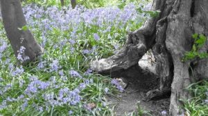 coton_manor_bluebells.jpg